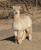 Blonde alpaca with trees Royalty Free Stock Images