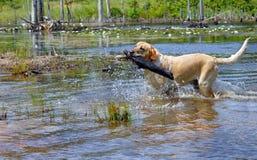 Blonde Apportierhund-Reichweiten Lizenzfreie Stockfotografie