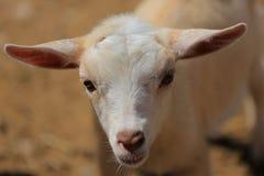 Blonde baby goat Stock Photo
