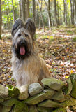 Blonde Briard Dog in Fall Forest. Portrait of a pure bred blonde briard dog with tongue hanging out sitting in an autumn forest of a beautiful day Royalty Free Stock Images