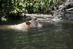 Blonde Brown Bear 2 swimming Stock Photography