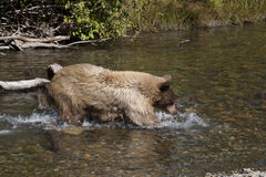 Blonde Brown Bear 26 hunting stock images