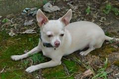 blonde Chihuahua, die auf Moos legen Lizenzfreie Stockfotos