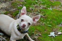 blonde Chihuahua, die auf Moos legen Stockfoto