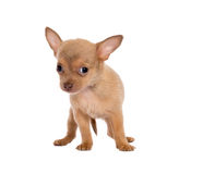 Blonde chihuahua girl Stock Image