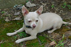 blonde chihuahua laying on moss Royalty Free Stock Photos