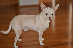 Blonde Chihuahua standing on brown wood Royalty Free Stock Photos