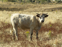 Blonde cow. In the field Stock Images