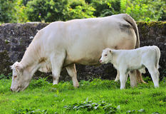 Blonde cow and calf. Blonde cattle range in colour from pure white, to a light tan. They are excellent beef cattle. Here you can see a cow with her calf Stock Photo