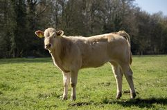 Free Blonde Cow, Heifer, Standing Perky On Green Grass In A Meadow, Pasture, Trees At The Background Royalty Free Stock Photos - 163633958