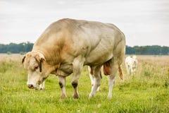 Blonde d`Aquitaine bull Stock Images