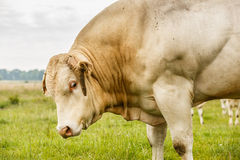Blonde d`Aquitaine bull Royalty Free Stock Images