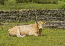 Blonde d'Aquitaine bull Royalty Free Stock Photos