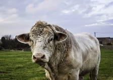 Blonde d'Aquitaine bull Stock Photo