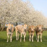 Blonde d`aquitaine calves in green meadow with white blossoming spring trees stock photos