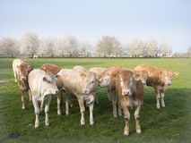 Blonde d`aquitaine calves in green meadow with white blossoming spring trees stock image