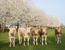 Blonde d`aquitaine calves in green meadow with white blossoming spring trees royalty free stock photos