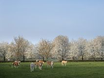 Blonde d`aquitaine calves in green meadow with white blossoming spring trees royalty free stock photography