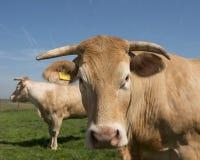 Blonde d-` Aquitanien-Kühe in der grünen grasartigen Wiese unter blauem Himmel Stockfotos