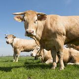 Blonde d-` Aquitanien-Kühe in der grünen grasartigen Wiese unter blauem Himmel Stockfoto