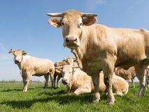 Blonde d-` Aquitanien-Kühe in der grünen grasartigen Wiese unter blauem Himmel Stockbilder