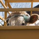 Blonde d-` Aquitanien-Kuh bereit zum Transport im Warenkorb Stockbilder