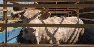 Blonde d-` Aquitanien-Kuh bereit zum Transport im Warenkorb Stockbild