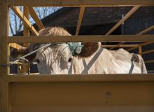 Blonde d-` Aquitanien-Kuh bereit zum Transport im Warenkorb Stockfotos