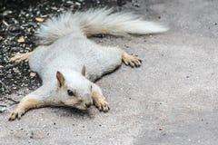 Blonde eekhoorn die vlak op de grond liggen royalty-vrije stock foto's