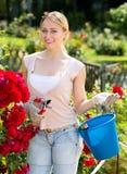 Blonde Frau, die um roten Rosenbusch sich kümmert Lizenzfreies Stockbild
