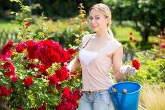 Blonde Frau, die um roten Rosenbusch sich kümmert Stockbild