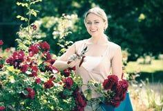 Blonde Frau, die um roten Rosenbusch sich kümmert Stockfotografie