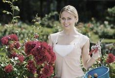 Blonde Frau, die um roten Rosenbusch sich kümmert Lizenzfreie Stockfotos