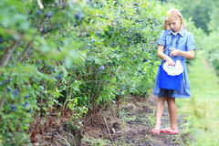 Blonde Girl Picking Blueberries Stock Photography