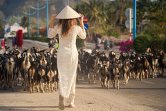 Blonde girl in Vietnamese dress watches goats flock. Slim blonde girl in Vietnamese national white long dress and hat backside view watches flock of goats on stock photography