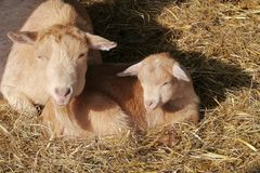 A blonde goat with a calf in the straw Stock Photography