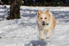 Blonde Grenze Collie Running im Schnee Lizenzfreie Stockfotografie