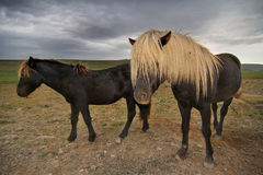Blonde haired horses Royalty Free Stock Images