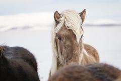 Blonde haired Ijslands paard in de sneeuw in IJsland royalty-vrije stock foto's