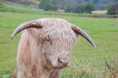 Blonde highland bull. A highland bull looking very wet and sorry for itself standing along in a highland meadow Royalty Free Stock Photos