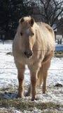 Blonde Horse in Snowy Ohio Stock Photos