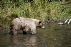Blonde Jagd des Brown-Bären 20 Lizenzfreies Stockbild