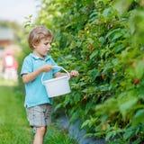 Blonde jong geitjejongen die pret met het plukken bessen op frambozenlandbouwbedrijf hebben Royalty-vrije Stock Foto's