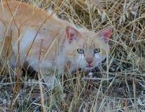 Blonde Katze mit grünen Augen Stockfoto