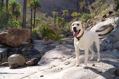 Blonde labrador retreiver in Palm tree forest Royalty Free Stock Photos