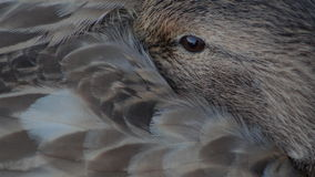 Blonde Mallard. Captured on the cost of BC, Canada Royalty Free Stock Photography