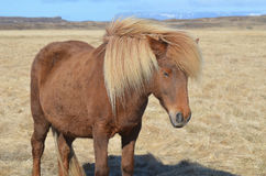 Blonde Mane on a Chestnut Horse Stock Photo