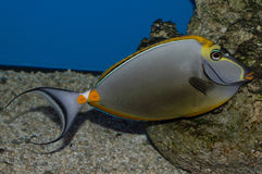 Male Blonde Naso Tang Stock Photography