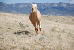 Blonde Palomino Horse Running in Field with Mountain Background. Palomino horse running towards the viewer on a hill with small cactus in front of a mountain on Stock Photo