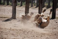 Blonde Palomino Rolling in Dirt. A blonde Palomino stallion creates dust as he rolls to scratch his back. Fortunately, this is not a colic situation Royalty Free Stock Images